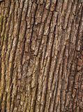 Cortex texture. A close-up of a brown cortex Stock Photos