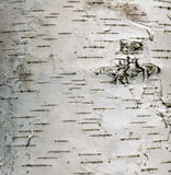 Cortex tree birch Stock Images