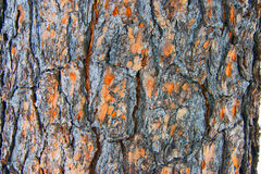 Cortex tree cedar Royalty Free Stock Photo