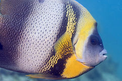 Cortez Angel Fish. A cortez angel fish on the look out for intruders Royalty Free Stock Image