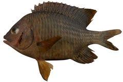 Cortez Damselfish. Fish isolated on white background Royalty Free Stock Images