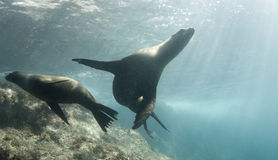 Cortez Sea Lions. Two California Sea Lions (Zalophus californianus) play together underwater in the Sea of Cortez, Mexico stock photography