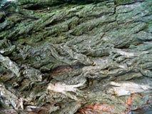 Corteza áspera de un árbol de castaña viejo cincuenta años Imagen de archivo