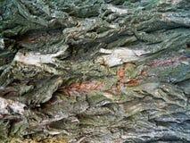 Corteza áspera gris de un árbol de castaña cincuenta Foto de archivo libre de regalías