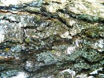 Corteza áspera gris de una castaña vieja Foto de archivo