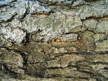 Corteza áspera gris de una castaña vieja Foto de archivo libre de regalías