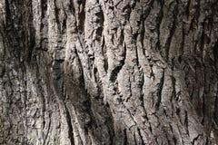 Corteza agrietada de un viejo plan del cierre del árbol Fotografía de archivo libre de regalías