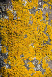 Corteza amarilla del árbol. Fotos de archivo