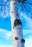 Corteza blanca en un árbol de abedul, fondo del cielo azul Abedul-árbol en a Fotos de archivo