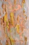 Corteza colorida de Gumtree del australiano fotos de archivo