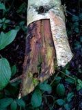 Corteza cortada de árbol de abedul Foto de archivo libre de regalías