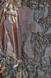 Corteza de árbol de abedul de río Fotografía de archivo