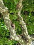 Corteza de árbol abigarrada del sicómoro Fotografía de archivo