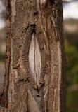 Corteza de árbol agrietada Fotografía de archivo