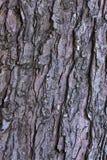 Corteza de árbol de arce Fotografía de archivo libre de regalías