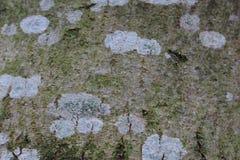 Corteza de árbol con el liquen Foto de archivo libre de regalías