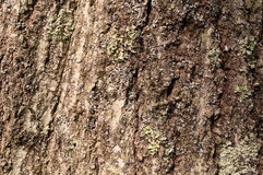 Corteza de árbol con el liquen verde Imagenes de archivo