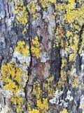 Corteza de árbol con el musgo amarillo del liquen fotografía de archivo