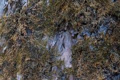 Corteza de árbol con el musgo secado Imagenes de archivo