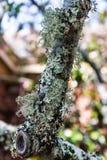 Corteza de árbol cubierta con el musgo Fotos de archivo libres de regalías