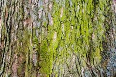 Corteza de árbol cubierta de musgo 4 Foto de archivo libre de regalías