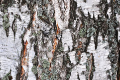 Corteza de árbol de abedul Imagen de archivo