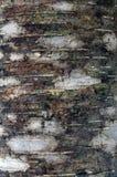 Corteza de árbol de abedul Imagen de archivo libre de regalías