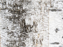 Corteza de árbol de abedul Fotos de archivo libres de regalías