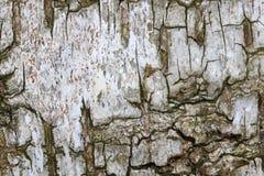 Corteza de árbol de abedul Fotografía de archivo