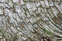Corteza de árbol de Betula del abedul Imagen de archivo libre de regalías