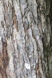 Corteza de árbol de caoba Fotografía de archivo libre de regalías