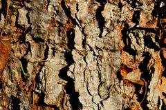 Corteza de árbol de pino Imagen de archivo libre de regalías