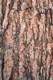 Corteza de árbol de pino de la textura Fotografía de archivo libre de regalías
