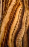 Corteza de árbol de pino del cono de la cerda Imagen de archivo libre de regalías