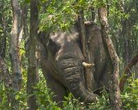 Corteza de árbol de rasgado del elefante indio, frontera de Indo-Nepal, Bengala Occidental, la India Imagenes de archivo