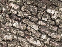 Corteza de árbol de roble Foto de archivo libre de regalías