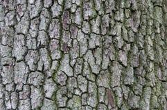 Corteza de árbol de roble Fotografía de archivo libre de regalías