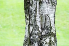 Corteza de árbol del árbol de abedul Fotos de archivo