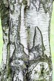 Corteza de árbol del árbol de abedul Fotografía de archivo libre de regalías