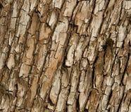 Corteza de árbol del Arbutus Foto de archivo