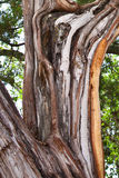 Corteza de árbol del enebro Imagen de archivo libre de regalías