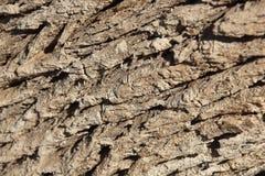 Corteza de árbol del Tamarisk (articulata del Tamarix). Foto de archivo