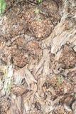Corteza de árbol detalladamente Imagen de archivo libre de regalías