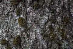 Corteza de árbol en el cierre del musgo para arriba Fondo foto de archivo libre de regalías