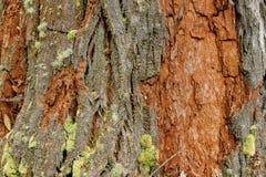 Corteza de árbol hermosa Imagenes de archivo