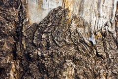 Corteza de árbol muerta Fotografía de archivo libre de regalías