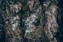 Corteza de árbol de pino cubierta con el musgo Textura y fondo orgánicos para el diseño Textura cubierta de musgo del árbol de co Fotos de archivo libres de regalías