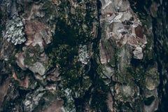 Corteza de árbol de pino cubierta con el musgo Textura y fondo orgánicos para el diseño Textura cubierta de musgo del árbol de co Fotografía de archivo libre de regalías
