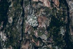 Corteza de árbol de pino cubierta con el musgo Textura y fondo orgánicos para el diseño Textura cubierta de musgo del árbol de co Imagen de archivo libre de regalías
