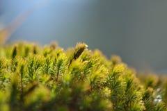 Corteza de árbol vieja con el musgo Fotos de archivo libres de regalías